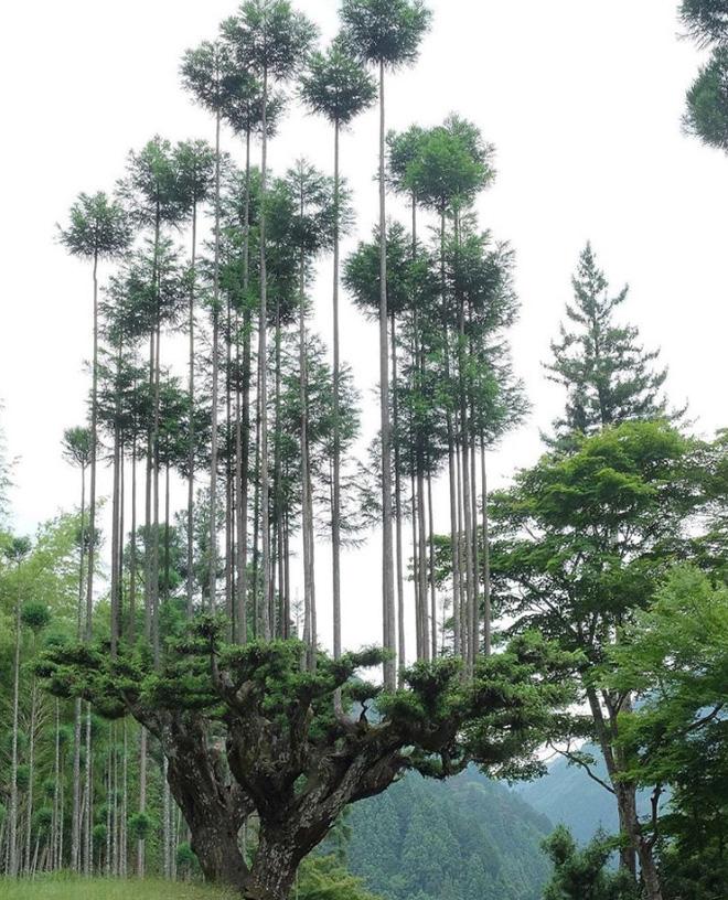 Tìm hiểu về kỹ thuật trồng cây cổ xưa Daisugi giúp tạo ra nhiều cây gỗ mới từ một gốc cây - Ảnh 3.