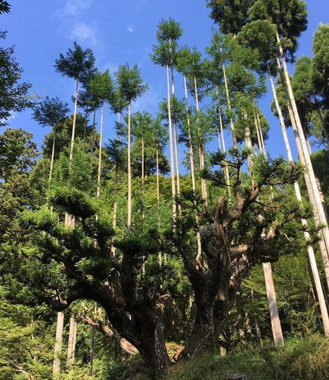 Tìm hiểu về kỹ thuật trồng cây cổ xưa Daisugi giúp tạo ra nhiều cây gỗ mới từ một gốc cây - Ảnh 7.