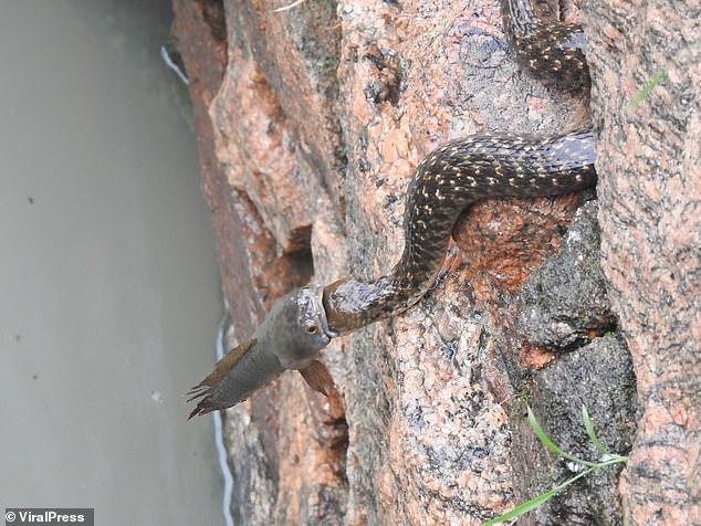 Hai con rắn và một con cá cắn đuôi nhau lơ lửng suốt 30 phút: Chúng đang làm gì? - Ảnh 3.