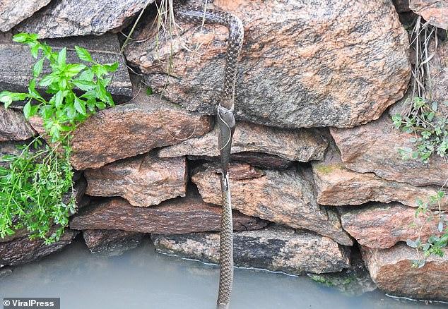 Hai con rắn và một con cá cắn đuôi nhau lơ lửng suốt 30 phút: Chúng đang làm gì? - Ảnh 1.