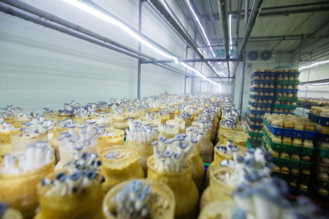 Làm nấm, ấm thân - anh nông dân thu về 35 tỷ đồng/năm - Ảnh 2.
