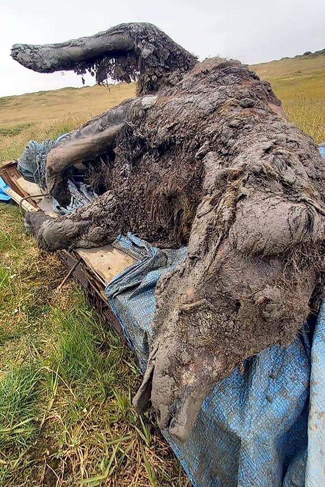 Lần đầu tiên tìm thấy xác gấu hang động vẫn còn nguyên nội tạng và mô mềm sau 39.000 năm chôn vùi dưới băng vĩnh cửu - Ảnh 3.