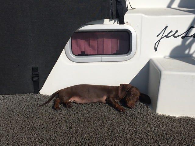 Chú chó vượt 16.000 km tìm về với chủ nhân sau 5 tháng mắc kẹt ở Mỹ do COVID-19 - Ảnh 2.