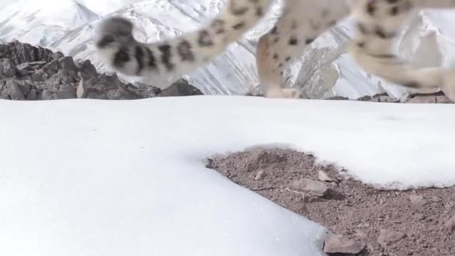 Clip: Màn rượt đuổi kinh điển trên vách đá dựng đứng của dê núi và báo tuyết, cái kết nhiều người bất ngờ - ảnh 1