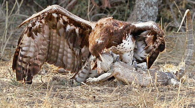 Đại bàng sà cánh mổ mù mắt thằn lằn khổng lồ - Ảnh 1.