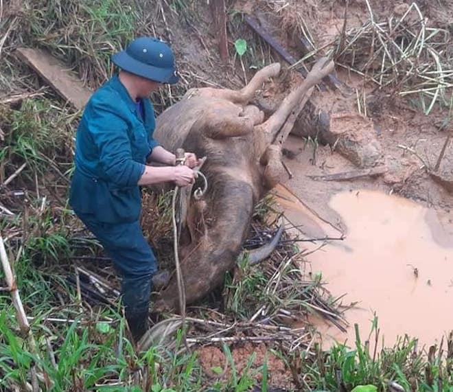 Cơn bão số 5: Sạt lở đất sau bão vùi lấp đàn trâu 8 con ở Nghệ An - Ảnh 7.