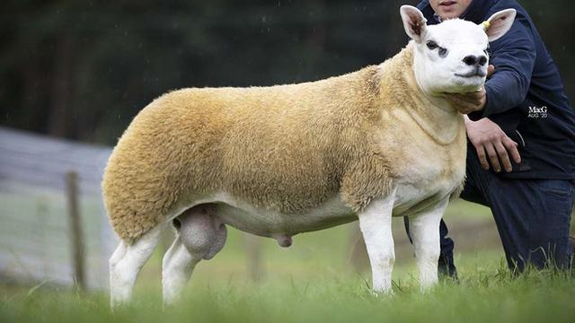 Với giá bán lên tới gần 11,4 tỷ đồng, con cừu đắt hơn cả siêu xe Ferrari này có gì đặc biệt? - Ảnh 1.