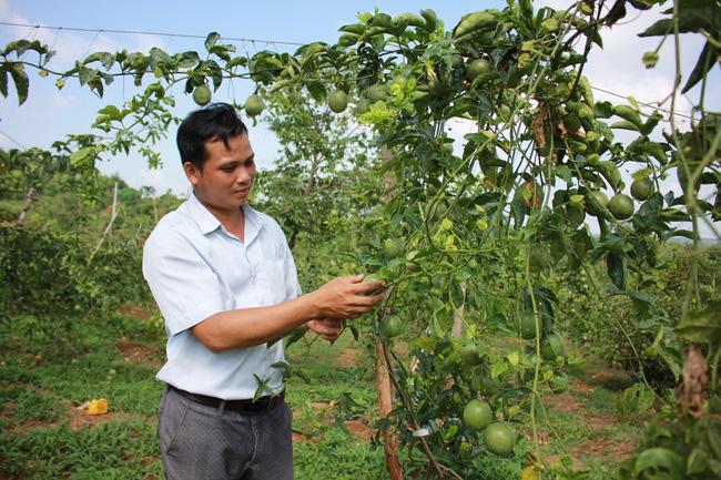 Đắk Lắk: Giá chanh dây chỉ còn 2.000 đồng/kg, lỡ trồng ồ ạt rồi, đành để rụng đầy gốc - Ảnh 1.