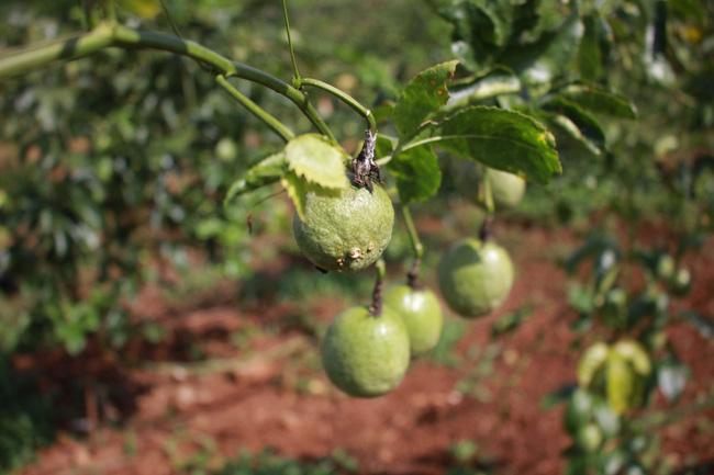 Đắk Lắk: Giá chanh dây chỉ còn 2.000 đồng/kg, lỡ trồng ồ ạt rồi, đành để rụng đầy gốc - Ảnh 2.