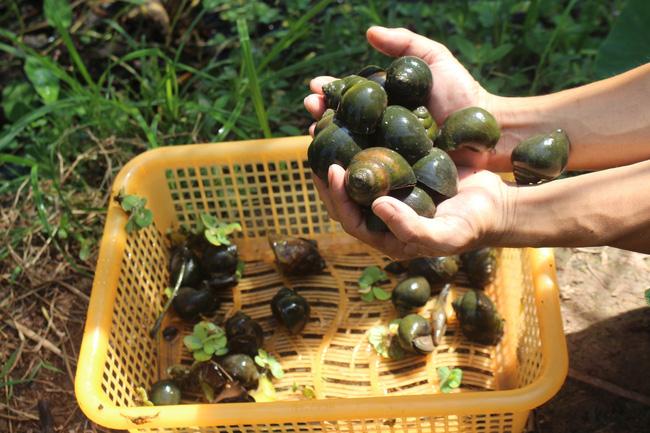 Nam Định: Nuôi con chậm chạp, bò quanh ao, tới mùa đẻ rõ lắm, anh nông dân thành tỷ phú - Ảnh 6.