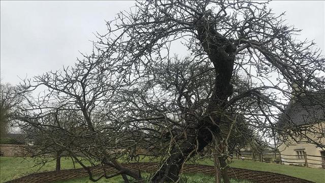 Sau gần 400 năm, cây táo của Newton vẫn đơm hoa kết trái - Ảnh 1.