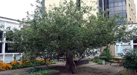 Sau gần 400 năm, cây táo của Newton vẫn đơm hoa kết trái - Ảnh 3.
