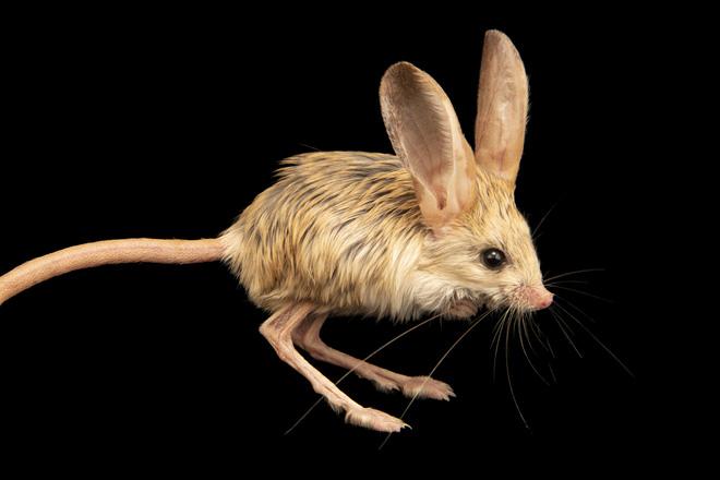 Loài vật tí hon kỳ lạ này trông giống như sự pha trộn giữa chuột, thỏ, lợn và một con chuột túi - Ảnh 3.