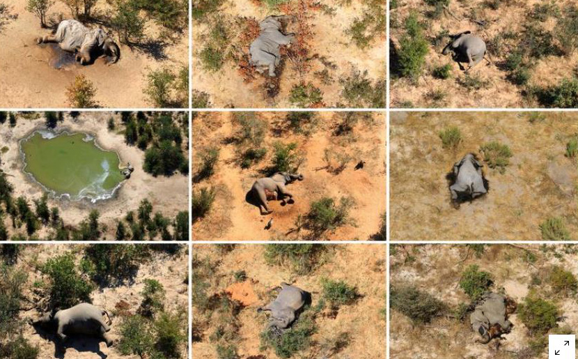 Phát hiện nguyên nhân hàng trăm con voi chết bí ẩn ở châu Phi