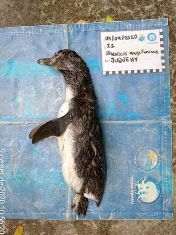 Chim cánh cụt chết thảm vì nuốt phải khẩu trang - Ảnh 1.