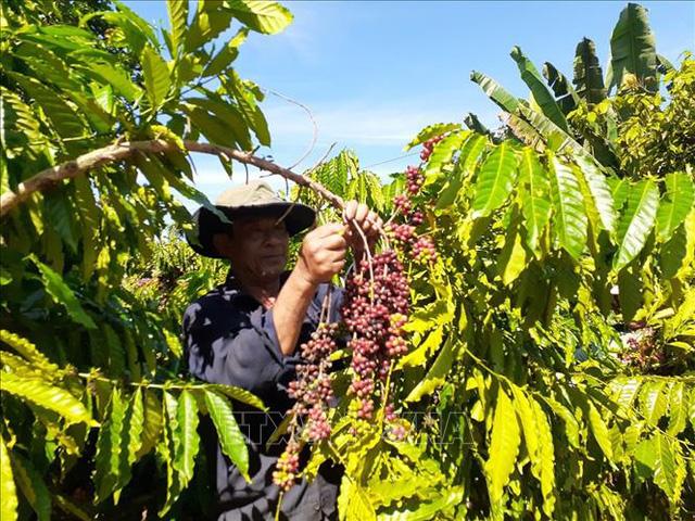 Việt Nam trở thành nhà cung cấp cà phê lớn nhất của Nhật Bản - Ảnh 1.
