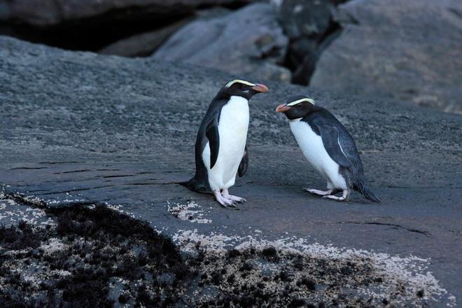 Chim cánh cụt cổ đại cao bằng người từng sống ở lục địa mất tích thứ 8 của Trái Đất - Ảnh 2.