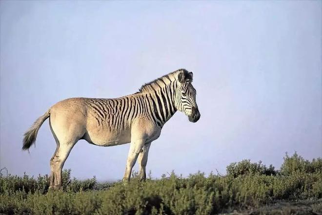 Đã tuyệt chủng một thế kỷ, liệu loài ngựa vằn tàn lụi này có thể thực sự sống lại? - Ảnh 15.