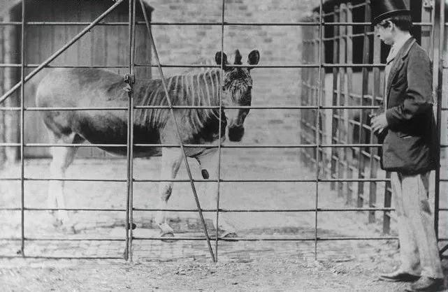 Đã tuyệt chủng một thế kỷ, liệu loài ngựa vằn tàn lụi này có thể thực sự sống lại? - Ảnh 4.