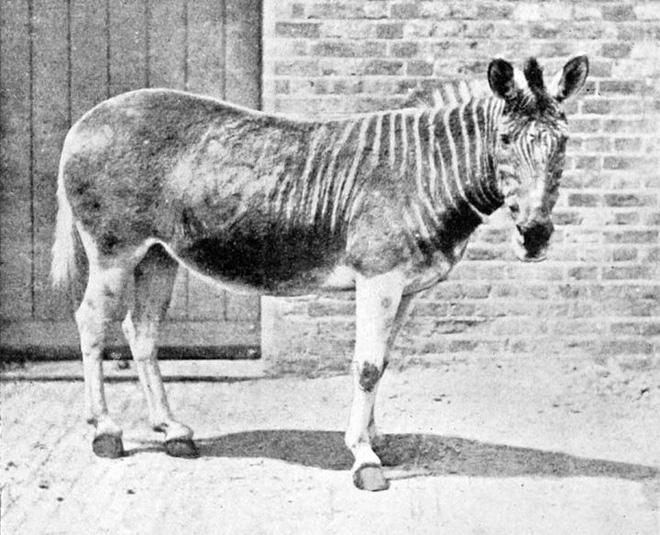 Đã tuyệt chủng một thế kỷ, liệu loài ngựa vằn tàn lụi này có thể thực sự sống lại? - Ảnh 9.