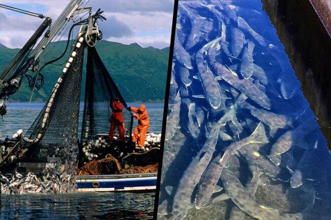 Cá - loại giàu omega-3, loại chứa độc tố: Cá hồi, rô phi, cá thu, cá ngừ... thuộc loại nào? - Ảnh 9.