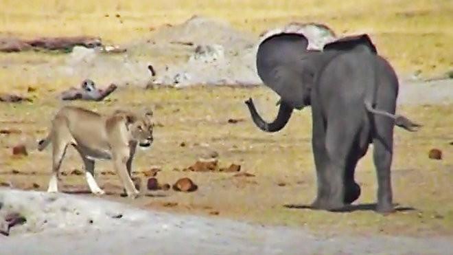 Cả gan 'cà khịa' sư tử, voi con trả giá bằng cả tính mạng - Ảnh 1.