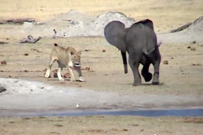 Cả gan 'cà khịa' sư tử, voi con trả giá bằng cả tính mạng - Ảnh 3.