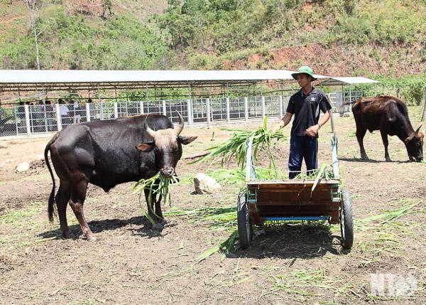 Đàn bò tót lai quý hiếm ốm o gầy mòn: Hơn năm qua, chúng chỉ được ăn rơm khô cầm cự qua ngày - Ảnh 1.
