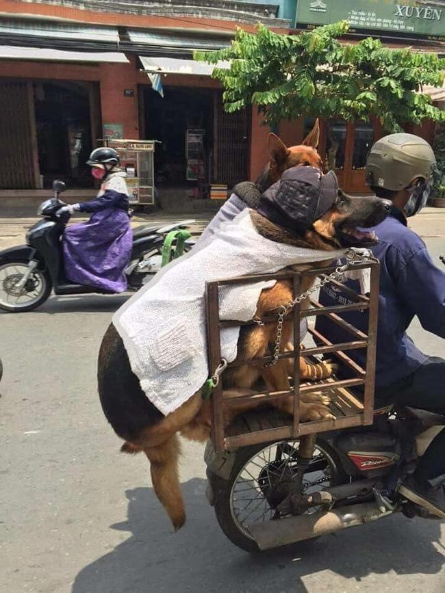 2 chú chó béo múp, ngồi đi chơi mà cũng như muốn tan chảy khỏi xe, dân mạng khuyên nên giảm cân nhìn cho đỡ ngấy - Ảnh 1.