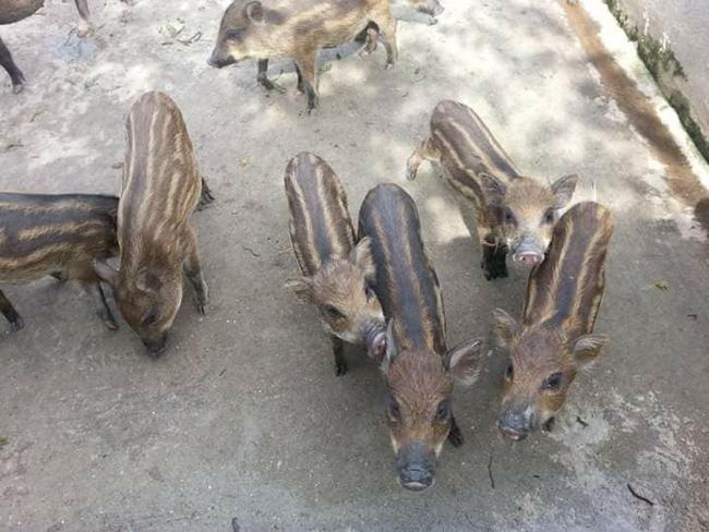 Lợn rừng giá trên trời 150.000 đồng/kg mà khách vẫn mua tơi tới, lợn giống cũng cháy hàng - Ảnh 3.