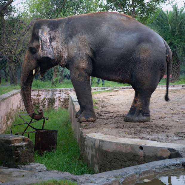 35 năm khổ sở của chú voi cô độc nhất hành tinh sắp được tự do: Gánh chịu nỗi đau mất bạn đời, tình trạng sức khỏe ai nghe cũng xót xa - Ảnh 1.