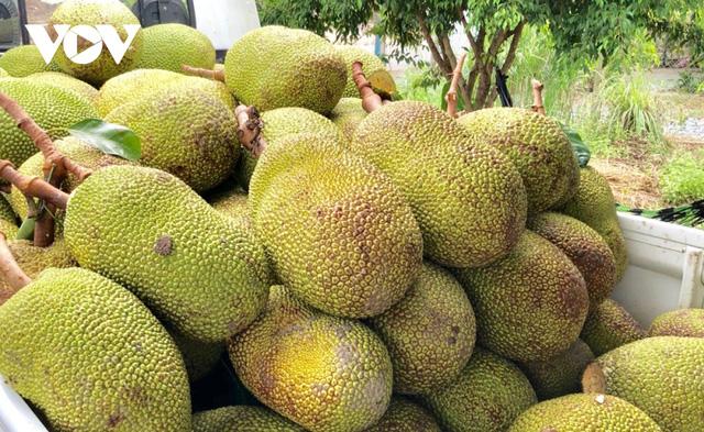 Nhà vườn Hậu Giang phấn khởi khi mít Thái tăng giá gấp 3 lần - Ảnh 1.