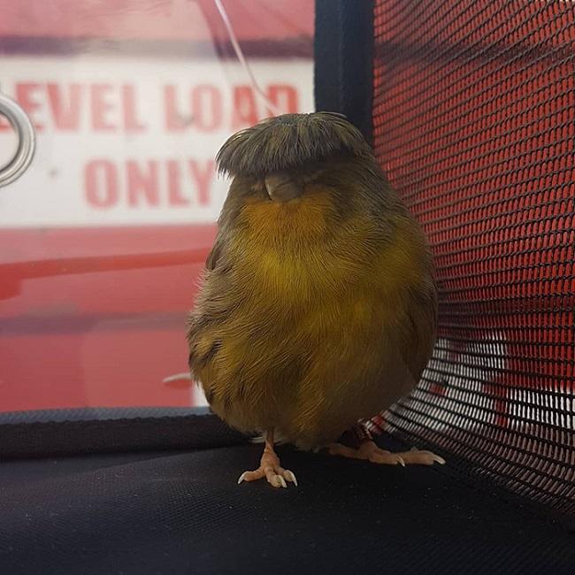 Gloster Canary: Loài chim kỳ lạ sở hữu quả đầu moi cực chất - Ảnh 3.