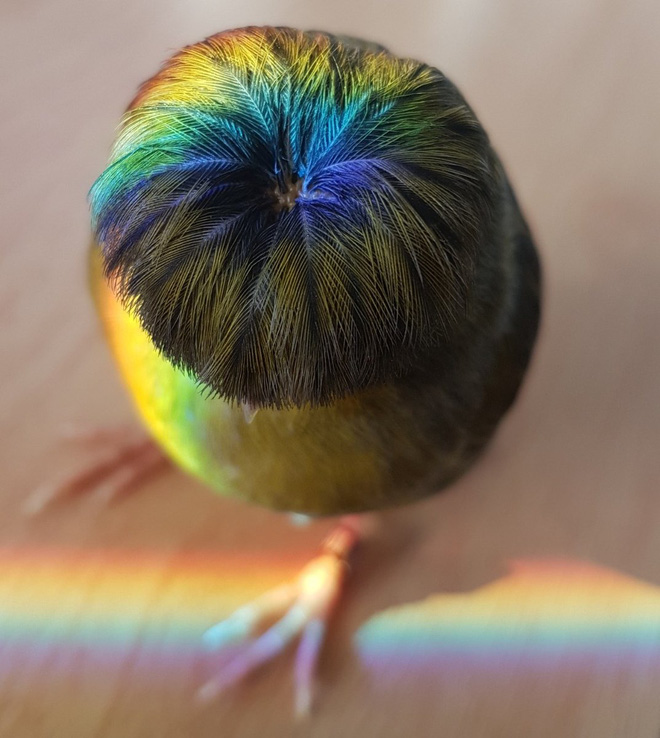Gloster Canary: Loài chim kỳ lạ sở hữu quả đầu moi cực chất - Ảnh 4.