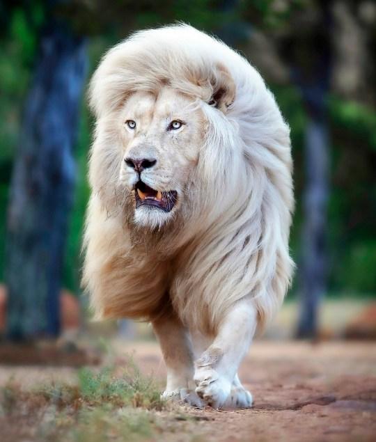 Bức ảnh chụp cận mặt sư tử trắng đang đi lại bên trong khu bảo tồn ở Nam Phi