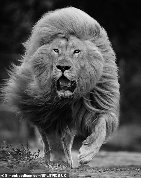 Sư tử có bộ lông trắng là do đột biến gen hiếm gặp