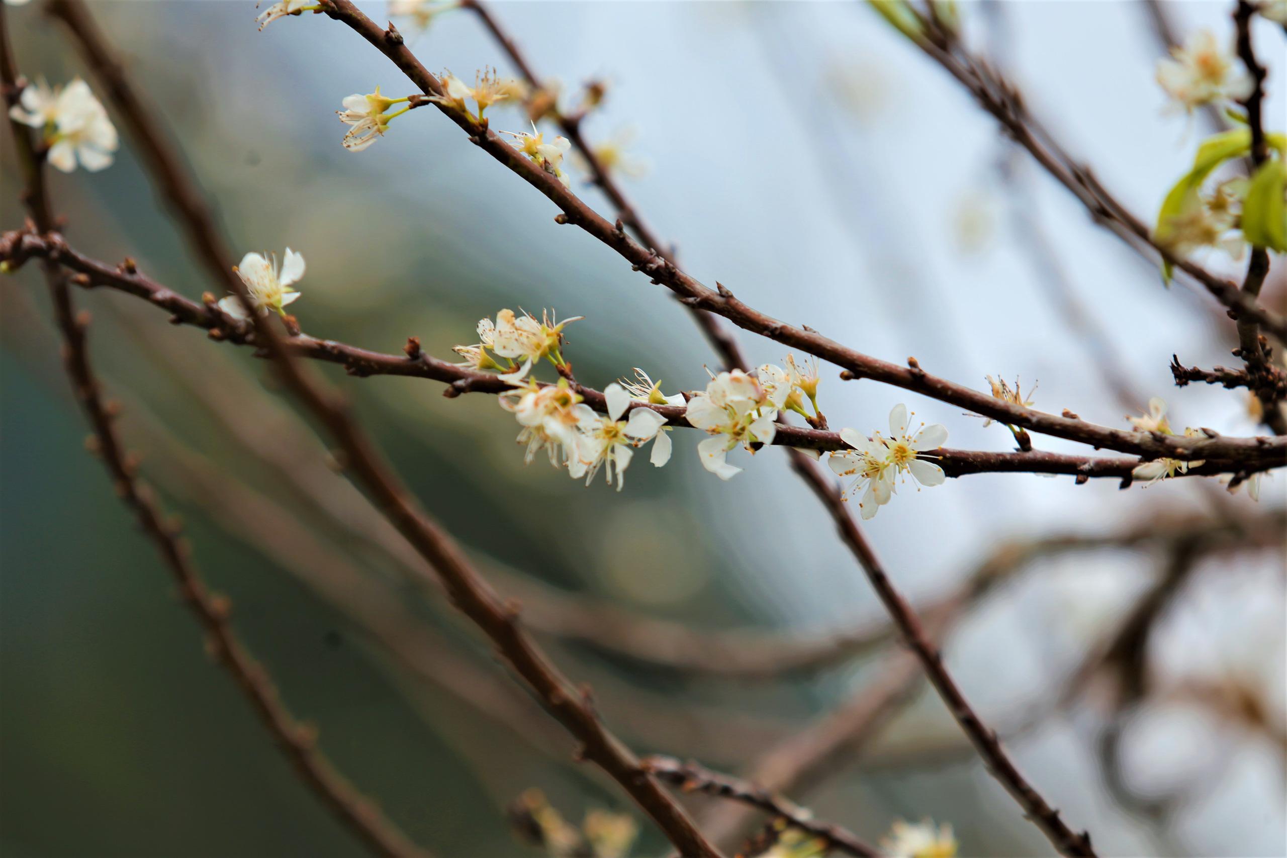Nghệ An: Hoa đào, hoa mận nở bung tuyệt đẹp trong giá rét trước khi Tết về - Ảnh 5.