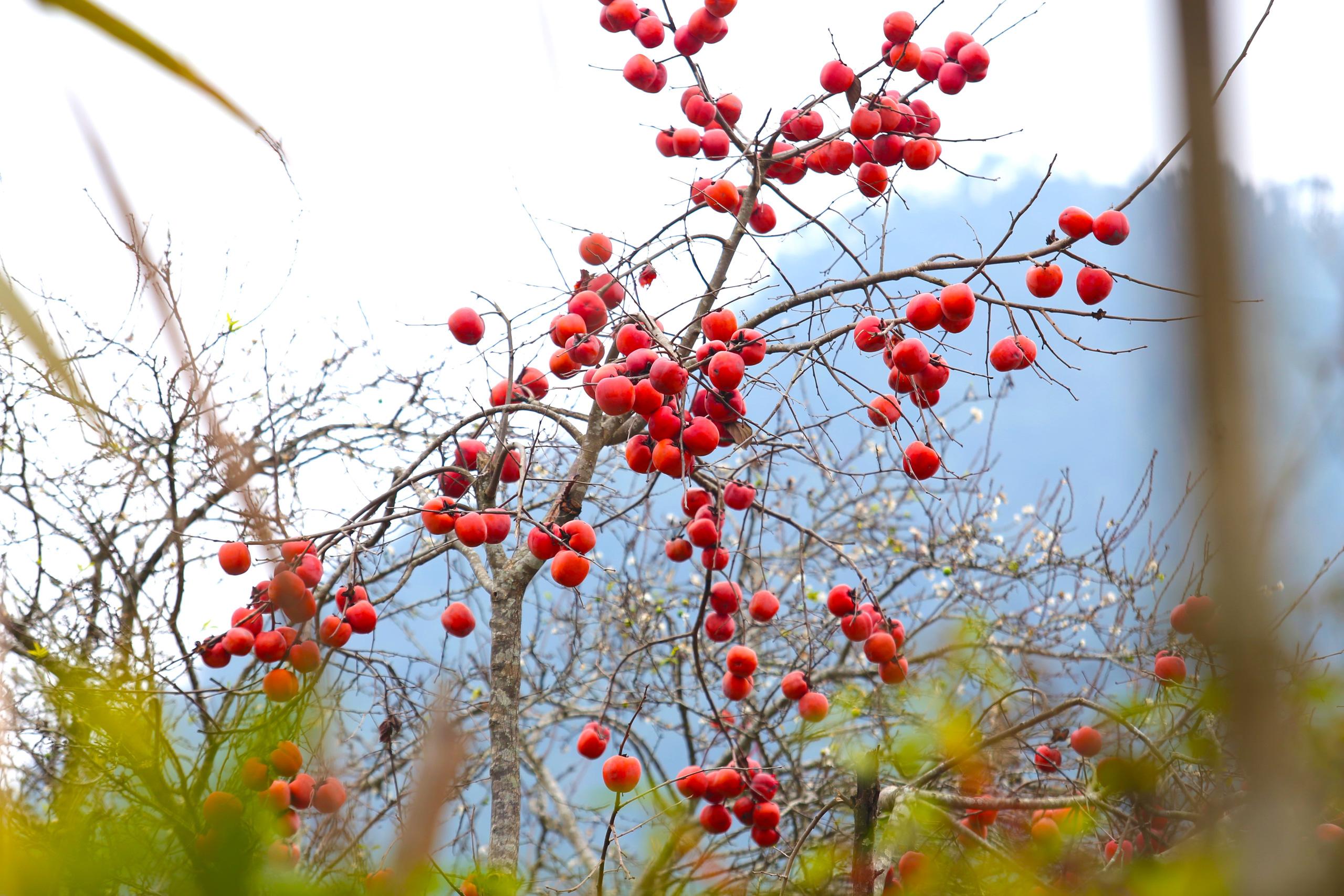 Nghệ An: Hoa đào, hoa mận nở bung tuyệt đẹp trong giá rét trước khi Tết về - Ảnh 6.