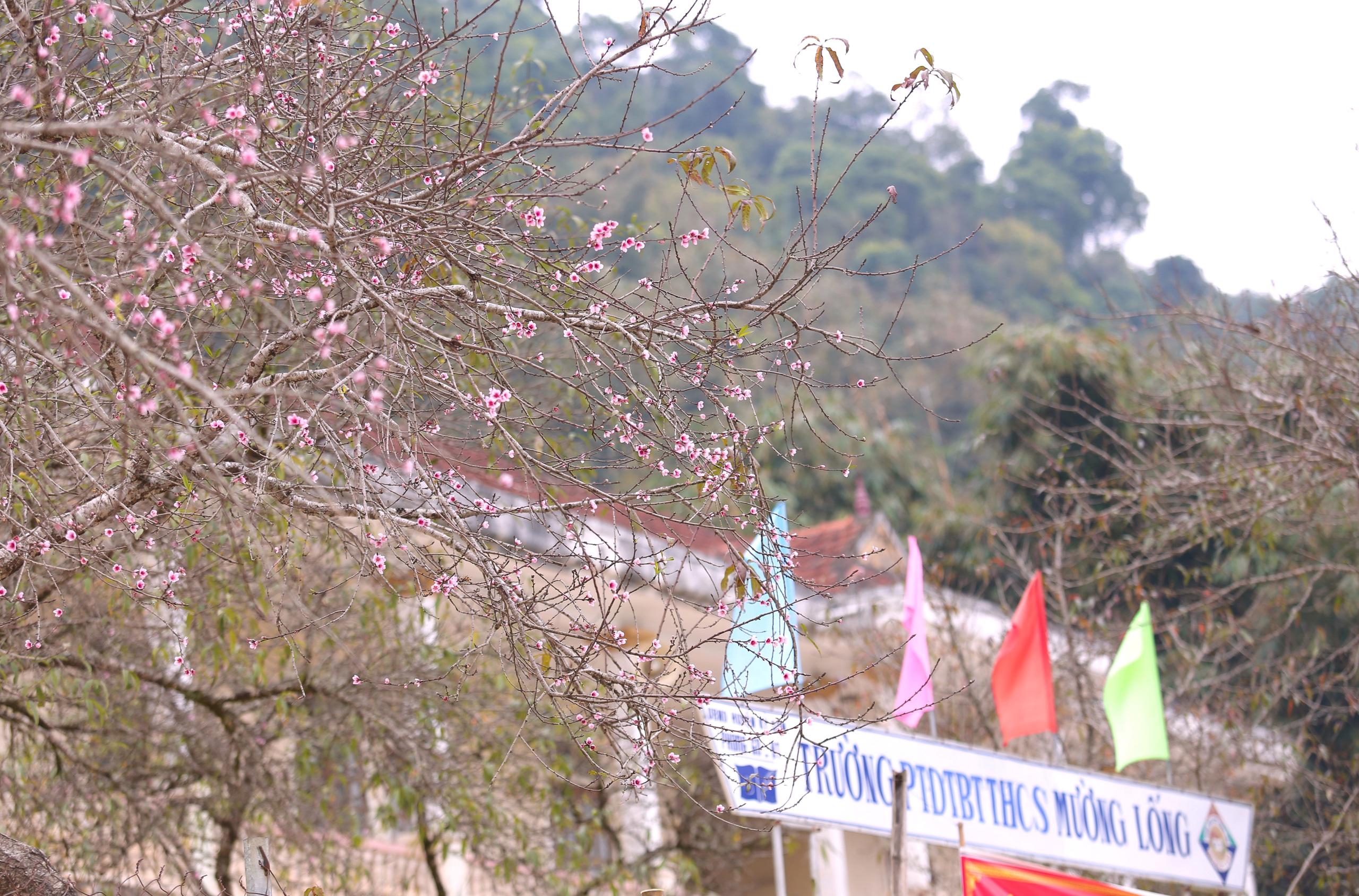 Nghệ An: Hoa đào, hoa mận nở bung tuyệt đẹp trong giá rét trước khi Tết về - Ảnh 2.