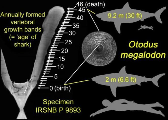 Quái vật Megalodon đạt kích cỡ khổng lồ bằng cách ăn thịt anh em ngay từ trong bụng mẹ - Ảnh 2.