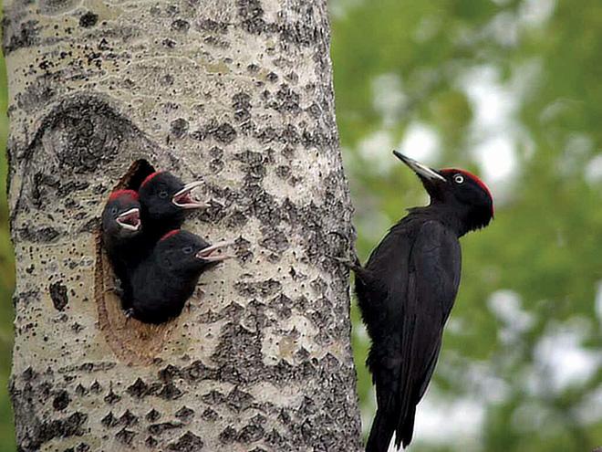 Mổ gỗ 12.000 lần mỗi ngày thế chim gõ kiến có bị đau đầu không? - Ảnh 2.