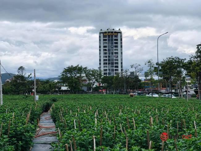 Trồng hoa Tết bán cho thị trường miền Trung, sát Tết chủ vườn rầu rĩ mong thương lái - Ảnh 1.