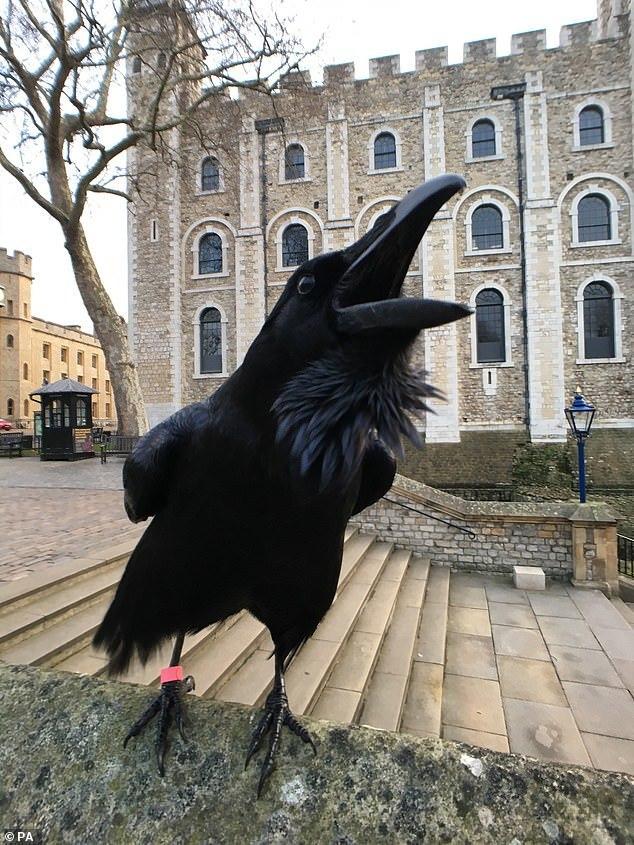 Quạ nữ hoàng nổi tiếng trên tháp London biến mất bí ẩn - Ảnh 1.
