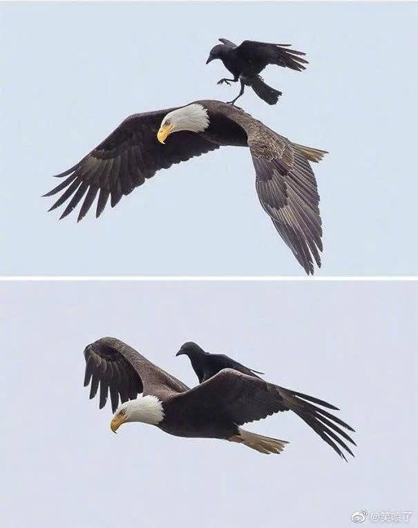 Chùm ảnh hài hước chứng minh loài quạ mới là bá chủ: Diều hâu chỉ là đệ, đến hoàng thượng cũng phải nể - Ảnh 3.