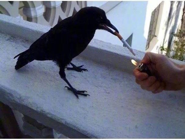 Chùm ảnh hài hước chứng minh loài quạ mới là bá chủ: Diều hâu chỉ là đệ, đến hoàng thượng cũng phải nể - Ảnh 13.