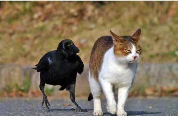 Chùm ảnh hài hước chứng minh loài quạ mới là bá chủ: Diều hâu chỉ là đệ, đến hoàng thượng cũng phải nể - Ảnh 4.