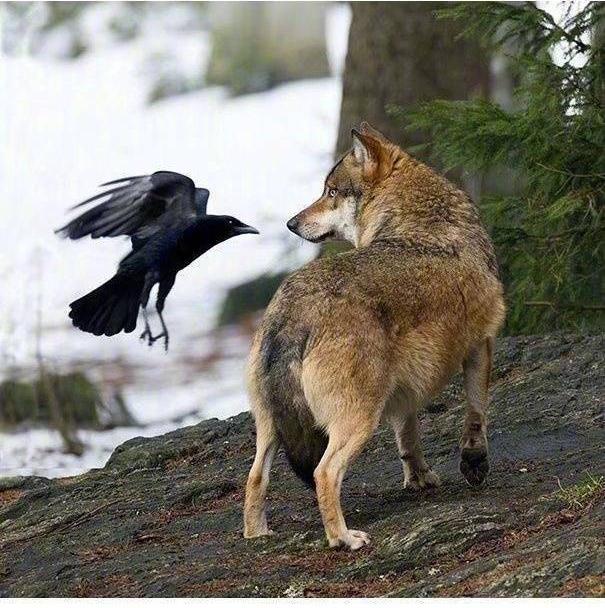 Chùm ảnh hài hước chứng minh loài quạ mới là bá chủ: Diều hâu chỉ là đệ, đến hoàng thượng cũng phải nể - Ảnh 10.