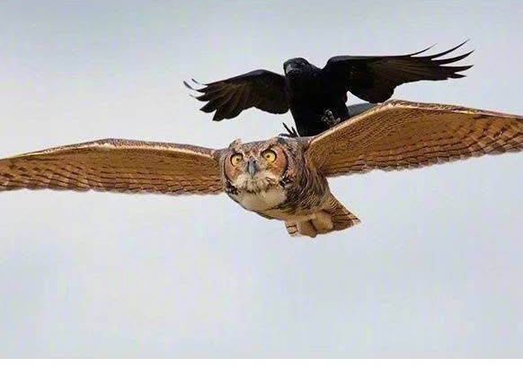 Chùm ảnh hài hước chứng minh loài quạ mới là bá chủ: Diều hâu chỉ là đệ, đến hoàng thượng cũng phải nể - Ảnh 8.