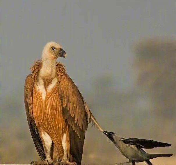 Chùm ảnh hài hước chứng minh loài quạ mới là bá chủ: Diều hâu chỉ là đệ, đến hoàng thượng cũng phải nể - Ảnh 9.