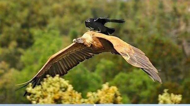 Chùm ảnh hài hước chứng minh loài quạ mới là bá chủ: Diều hâu chỉ là đệ, đến hoàng thượng cũng phải nể - Ảnh 12.
